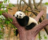 stock photo of endangered species  - Sleeping giant panda baby - JPG