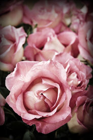 image of pink rose  - Beautiful romantic pink roses in high contrast color - JPG