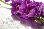 picture of gladiolus  - Beautiful gladiolus flower close up - JPG