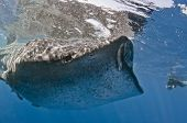 foto of plankton  - A whale shark opens her mouth to feed on plankton at the surface while a photographer snaps away - JPG