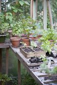 image of workbench  - Potting crate on workbench in greenhouse - JPG