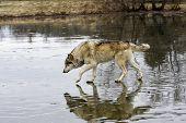Wolf Crossing Frozen Lake
