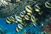 School of Angelfish on reef