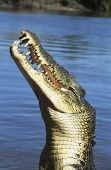 Australian Saltwater Crocodile in river