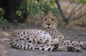 Cheetah (Acinonyx Jubatus) lying on sand