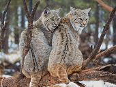 Bobcats on a branch