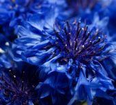 Blue Cornflower Or Bachelors Button Centaurea Cyanus