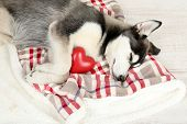 stock photo of husky  - Beautiful cute husky puppy in room - JPG