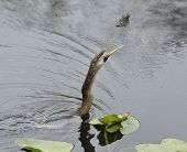 Anhinga Fishing In Wetland Pond