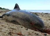 Dead Dolphin at the Beach