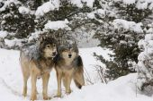 Alpha Male and female grey wolves