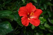 Red Hibiscus Flower In Garden