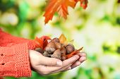 foto of acorn  - Man hands with acorns - JPG