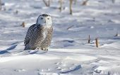 image of hedwig  - Portrait of a young snowy owl, looking at the camera.  Winter in Minnesota.