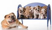 dog family - english bulldog father laying beside litter of puppies sitting on a bench isolated on w