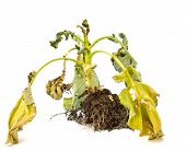 Withered Kale On White Background