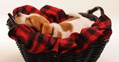 pic of heeler  - Cute nine week old red heeler puppy - JPG