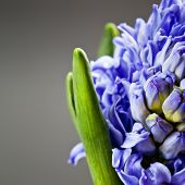 Beautiful blue  Hyacinths over black
