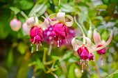 Blossoming Branch Exotic Red And White Fuchsia On Nature,  `mood Indigo`