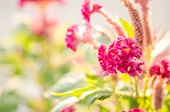 picture of cockscomb  - Celosia or Wool flowers or Cockscomb flower in the garden or nature park