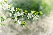 White apple blossom flowers in spring garden