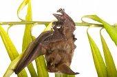 stock photo of sonar  - a winged animal  close up on branch - JPG