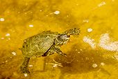 European Pond Turtle, Emys Orbicularis