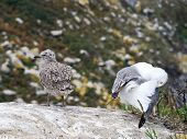Gull Chicks On Cies Islands In Atlantic, Spain