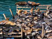 Sea Lions In Monterey Harbor, California
