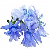 pic of chicory  - Common chicory flower Cichorium intybus  isolated on white background - JPG