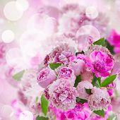 garden of pink peonies