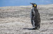 Emperor Penguin In Molting