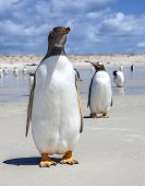 image of falklands  - Two Gento Penguins one in front one in back in the Falkland Islands. 