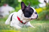 French bulldog resting on the grass
