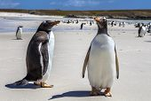 Two Gento Penguins Close-up In The Falkland Islands-4