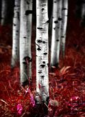 Fall Aspen Birch Trees