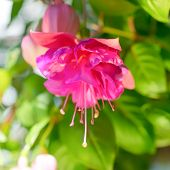 Blossoming Beautiful Colorful Fuchsia Flower Outdoor Background, `kathy's Sparkler`, Closeup