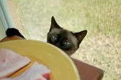image of sneaky  - A blue eyed Siamese cat sneaking up on a plate of fresh fish.