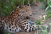 Amur leopard resting. These are some of the rarest cats in the world. Less than 40 remain in the wil