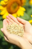 Hands holding sunflower seeds in field