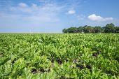 Dutch Farmland With Sugar Beets