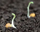 Chick-pea Seedling