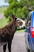 image of burro  - wild burros on the road asking tourists for a treat in Custer state park South Dakota - JPG