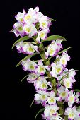 Dendrobium Orchid hybrids flower. Isolated on black