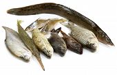 South Asian Fishes