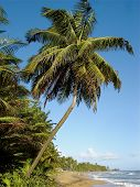 stock photo of windswept  - Windswept palm tree stretches over sunny Caribbean beach - JPG