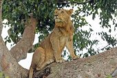 Постер, плакат: Young Male Lion In A Tree