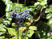 Oregon Grape Berries - Mahonia Aquifolium