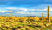 pic of ocotillo  - Sunset lit Saguaros in Sonoran Desert - JPG