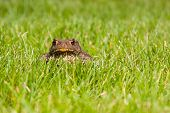 Gray frog sitting on green grass